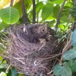 Trouvaille : trois oisillons dans le nid chez Tahiana, Mahony et Nohan !